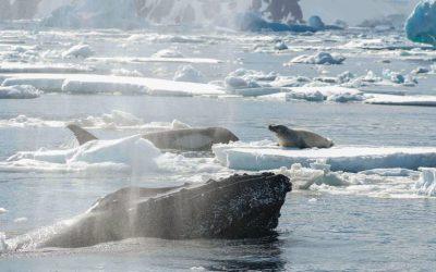 Für andere da sein – sind Wale altruistisch?