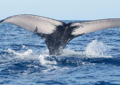 Samaná – Insel der Buckelwale