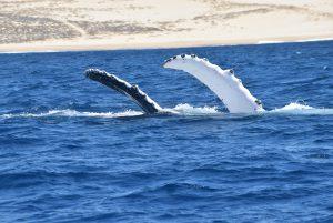 Brustflossen von Buckelwalen