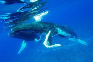 Buckelwal klappt die Spitze seiner Brustflosse ein, damit der Schwimmer nicht berührt wird