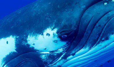 Schwimmen mit Walen – Te Mana o Te Manoa