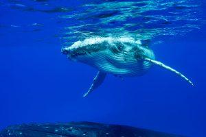 Buckelwal Mutter und Kalb beim Schwimmen mit Walen