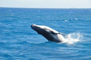 Schwimmen mit Walen - Buckelwal Kalb beim Sprung