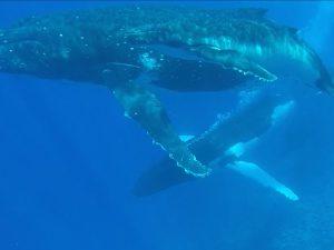 Buckelwal Mutter mit Kalb und Eskort Wal