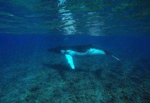 Buckelwal unter Wasser