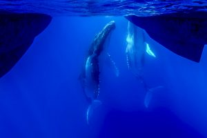 Buckelwale schauen sich Boot an
