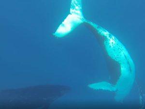 Schwimmen mit Walen - Wal unter Wasser