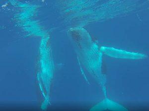 Buckelwale unter Wasser