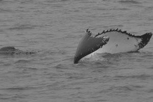 Wal im Kopfstand zeigt Fluke