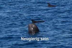 Pilotwal streckt Kopf aus dem Wasser