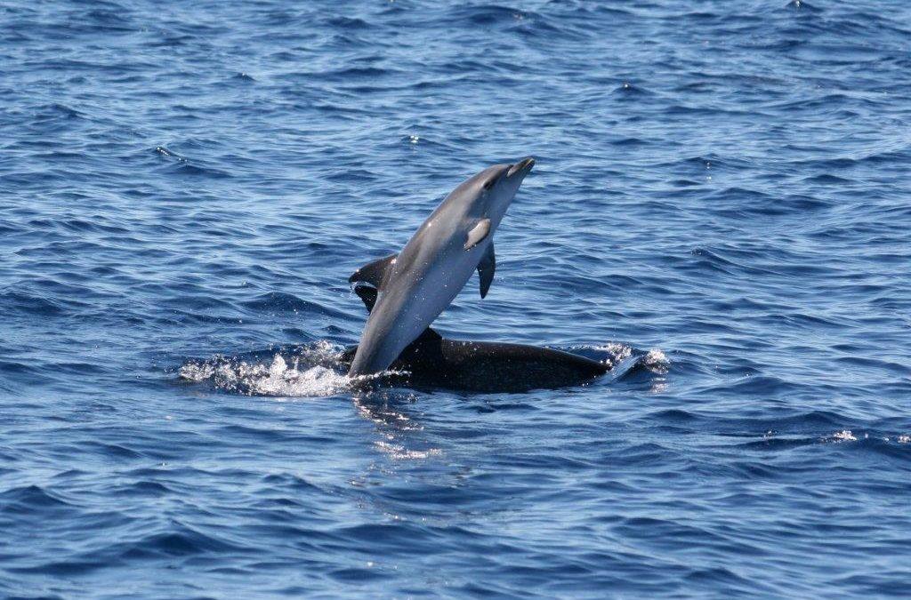Delfine – Babysitting von wilden Kälbern