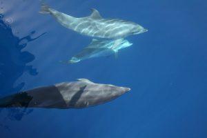 Delfine - Großer Tümmler mit Kalb