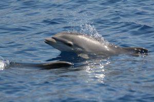 Delfine - Großer Tümmler Kalb
