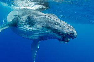 Whale Watching - Baby Buckelwal Tonga beim Schwimmen mit Walen