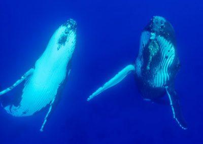 Tonga – Schwimmen mit Buckelwalen