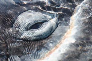 Auge eines Grauwals