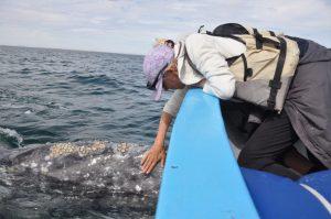Freundliche Grauwal Dame nah am Boot