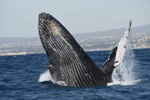 Half breach eines Buckelwals