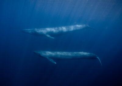 Ost-Timor – Schwimmen mit Walen – Blauwale und Pottwale